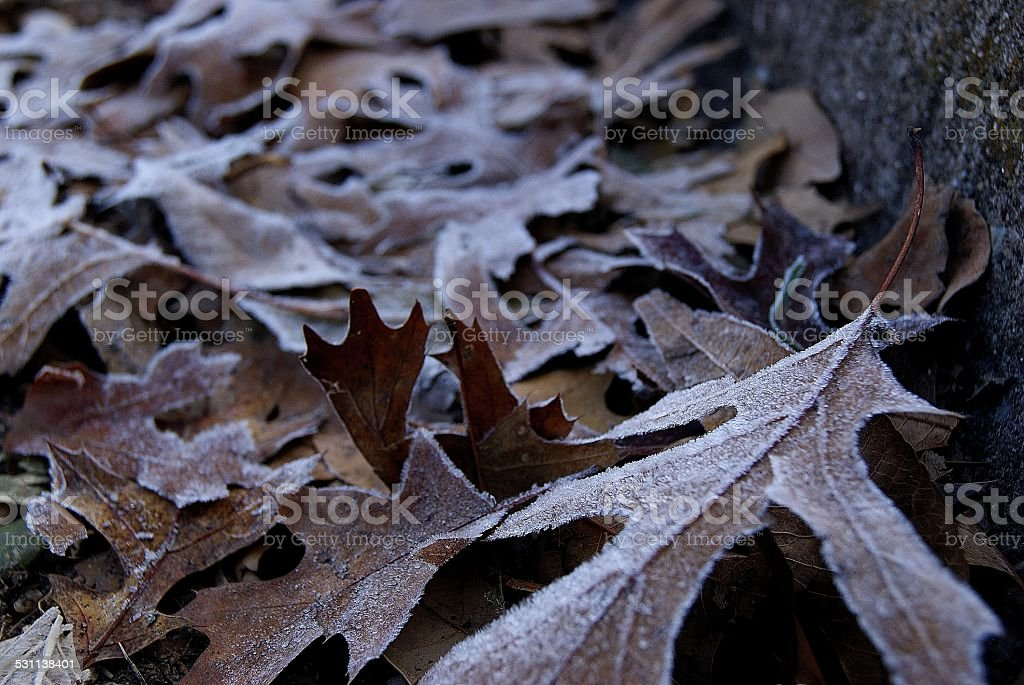 Frosted Winter Leaves royalty-free stock photo