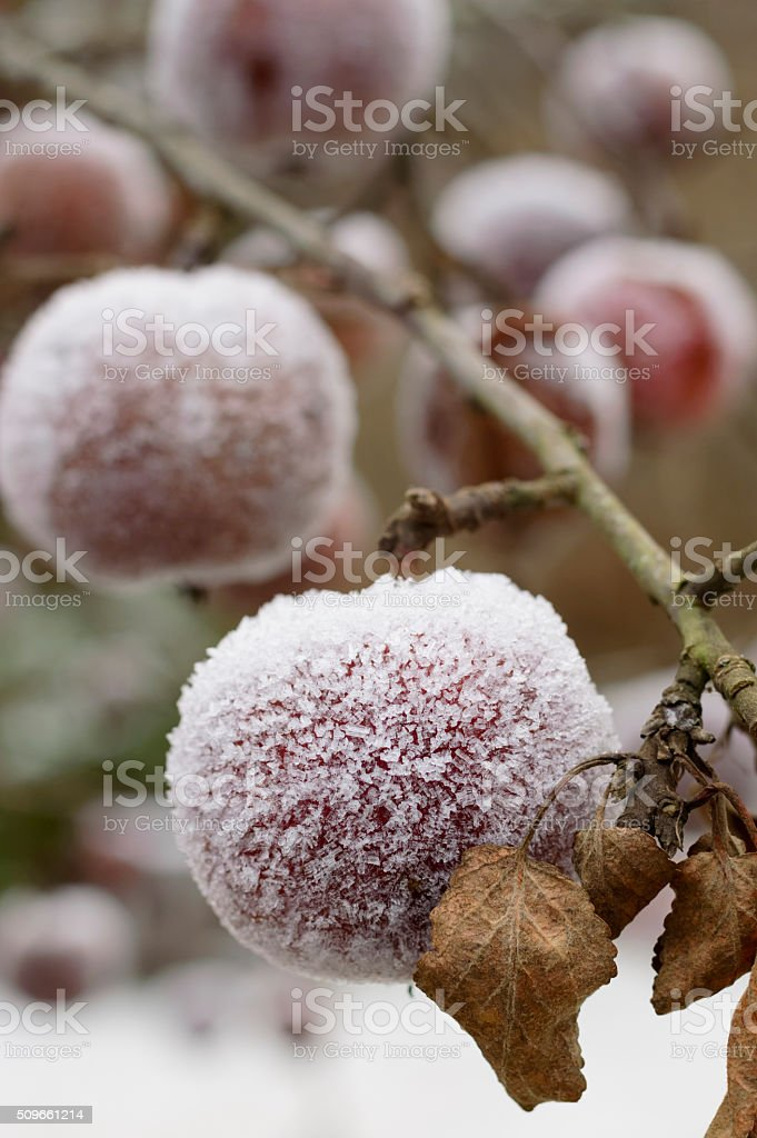 Frosty apples outdoor stock photo