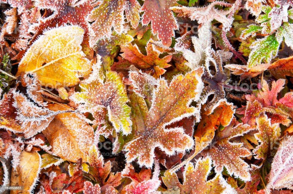 Frosty autumn leaves stock photo