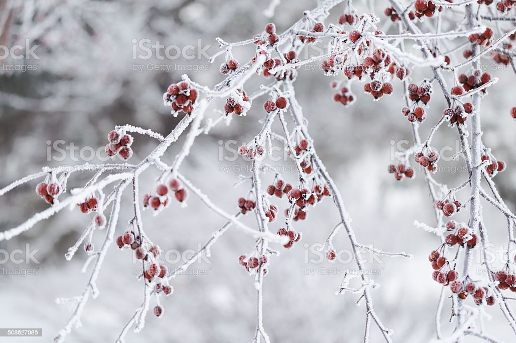 Frosty Berries on Crab Apple Tree in Winter stock photo