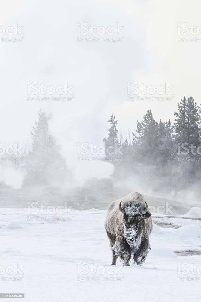 Frosty bison in snow at Old Faithful stock photo