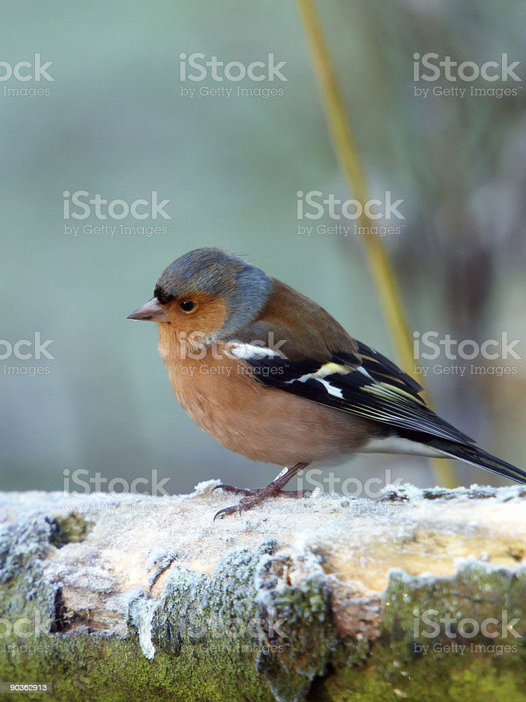 Frosty Chaffinch (Fringilla coelebs) royalty-free stock photo