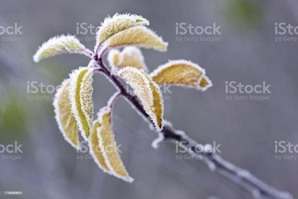 Frosty colourfull autumn leaves royalty-free stock photo