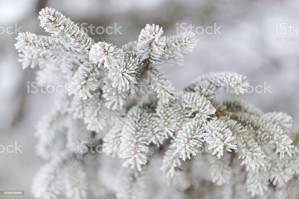 Frosty Evergreen stock photo