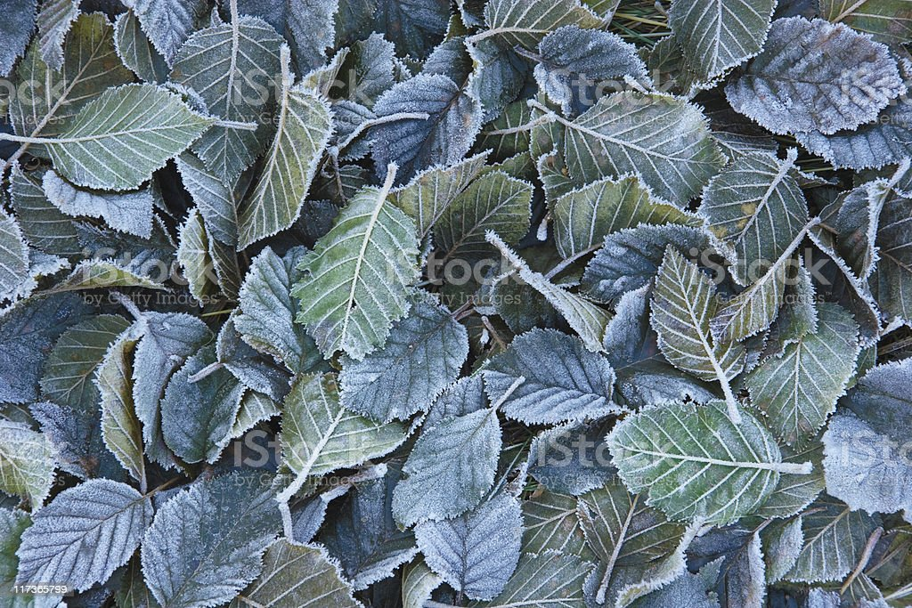 Frosty fall leaves royalty-free stock photo
