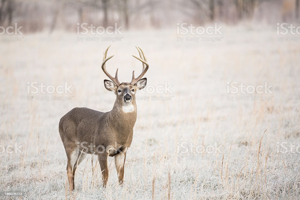 Frosty Field Whitetail Buck royalty-free stock photo