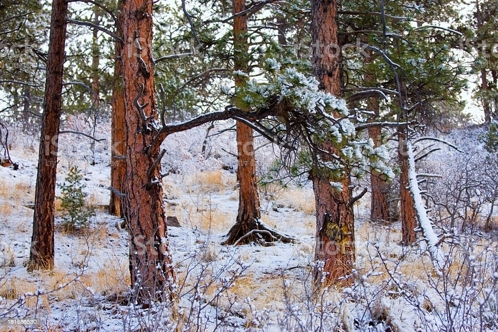 Frosty Forest royalty-free stock photo