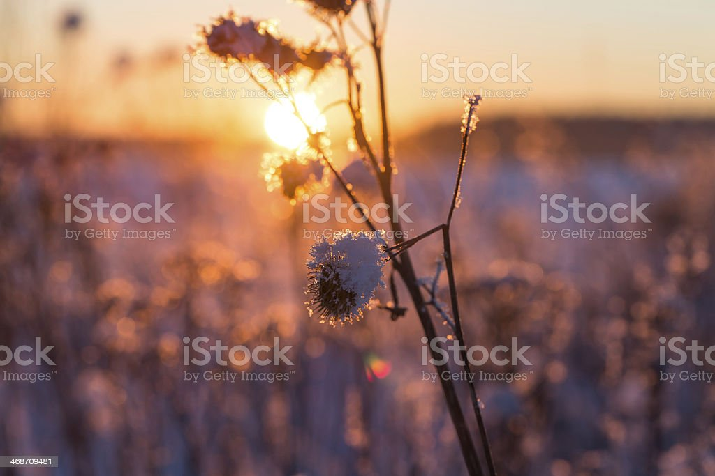 Frosty grass at winter sunset royalty-free stock photo