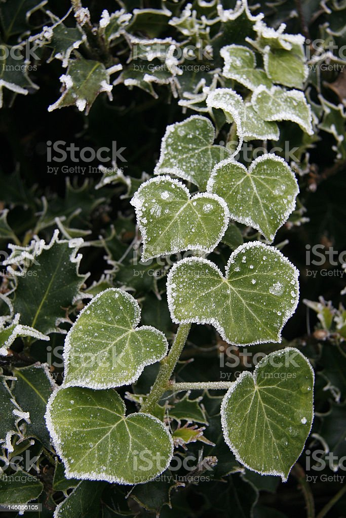 Frosty ivy. royalty-free stock photo