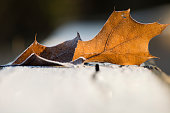 Frosty leaf in the cold winter morning.