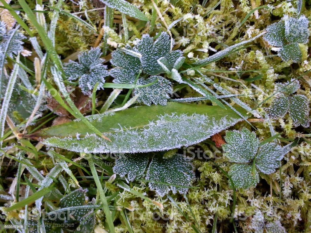 Frosty Leaves and Grass 1 stock photo