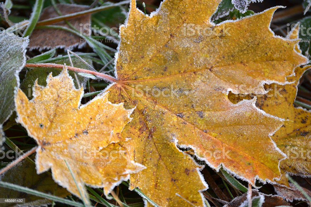 Frosty maple leaves stock photo