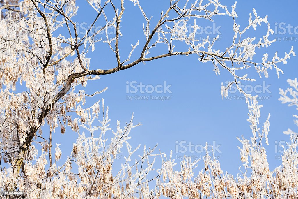 Frosty Maple Tree with Seeds royalty-free stock photo