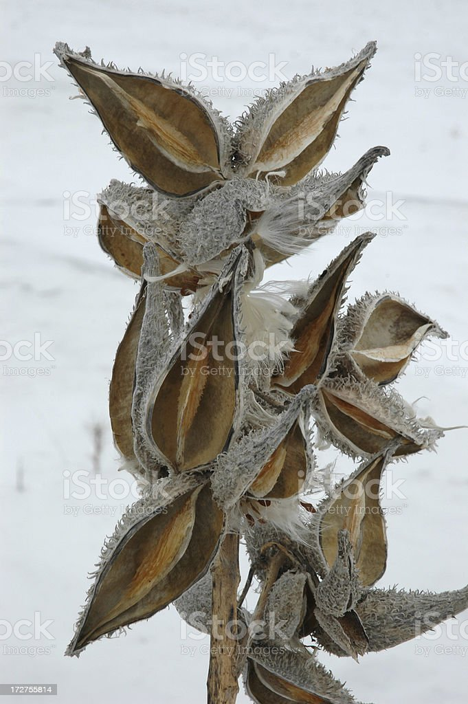 Морозный Шелк Weed Стоковые фото Стоковая фотография
