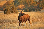 Frosty Moose Calf pt 2