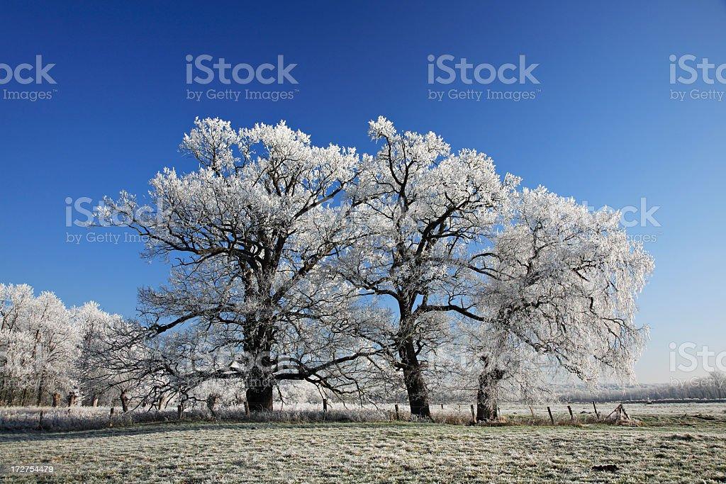 Frosty Oaks royalty-free stock photo