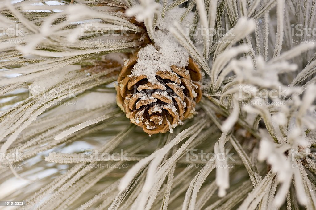 Frosty Pine Cone stock photo