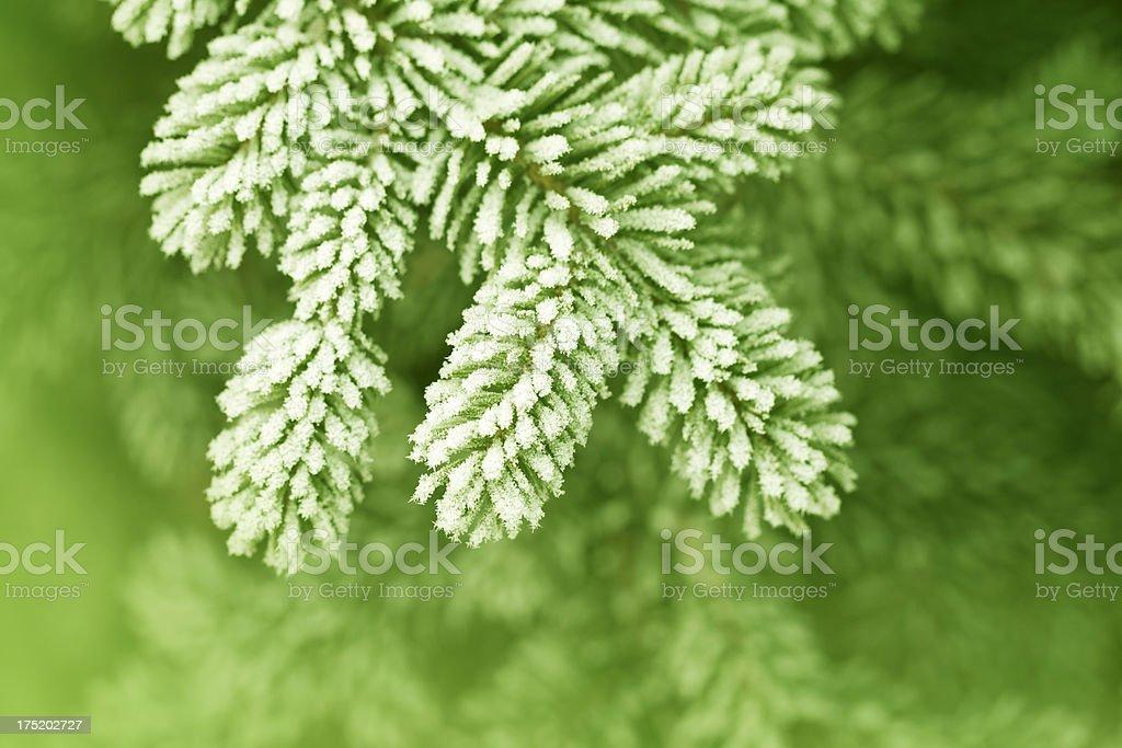 Frosty pine leaf royalty-free stock photo