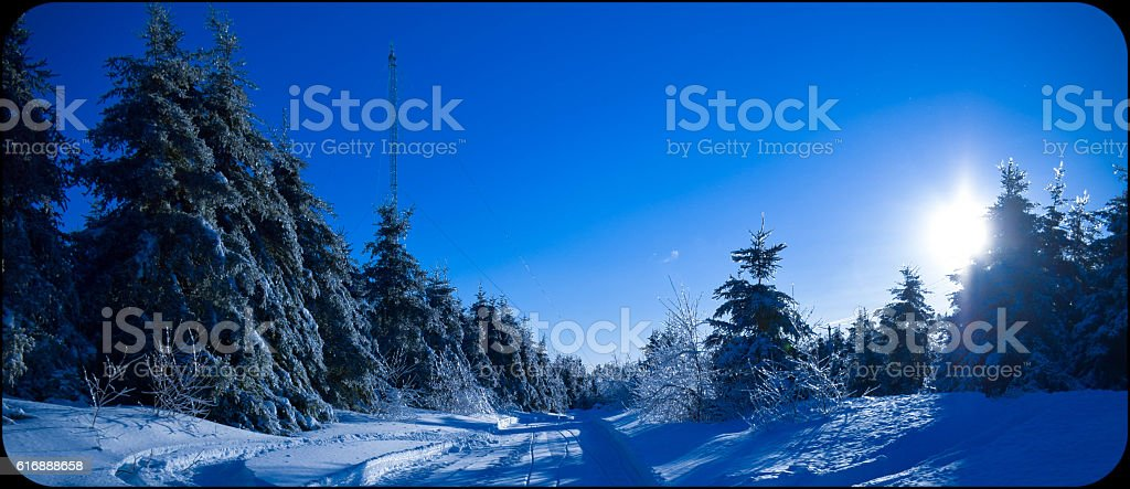 frosty pine trees on the winter royalty-free stock photo