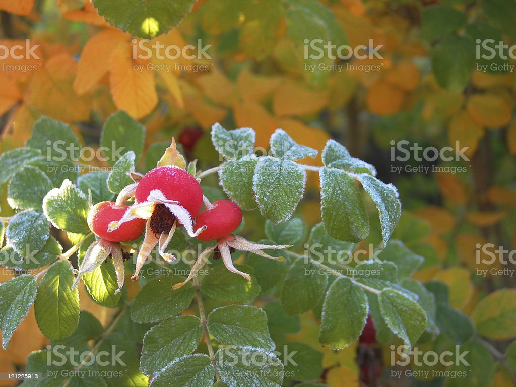 Frosty rosehips of Rugosa rose an early morning in autumn royalty-free stock photo