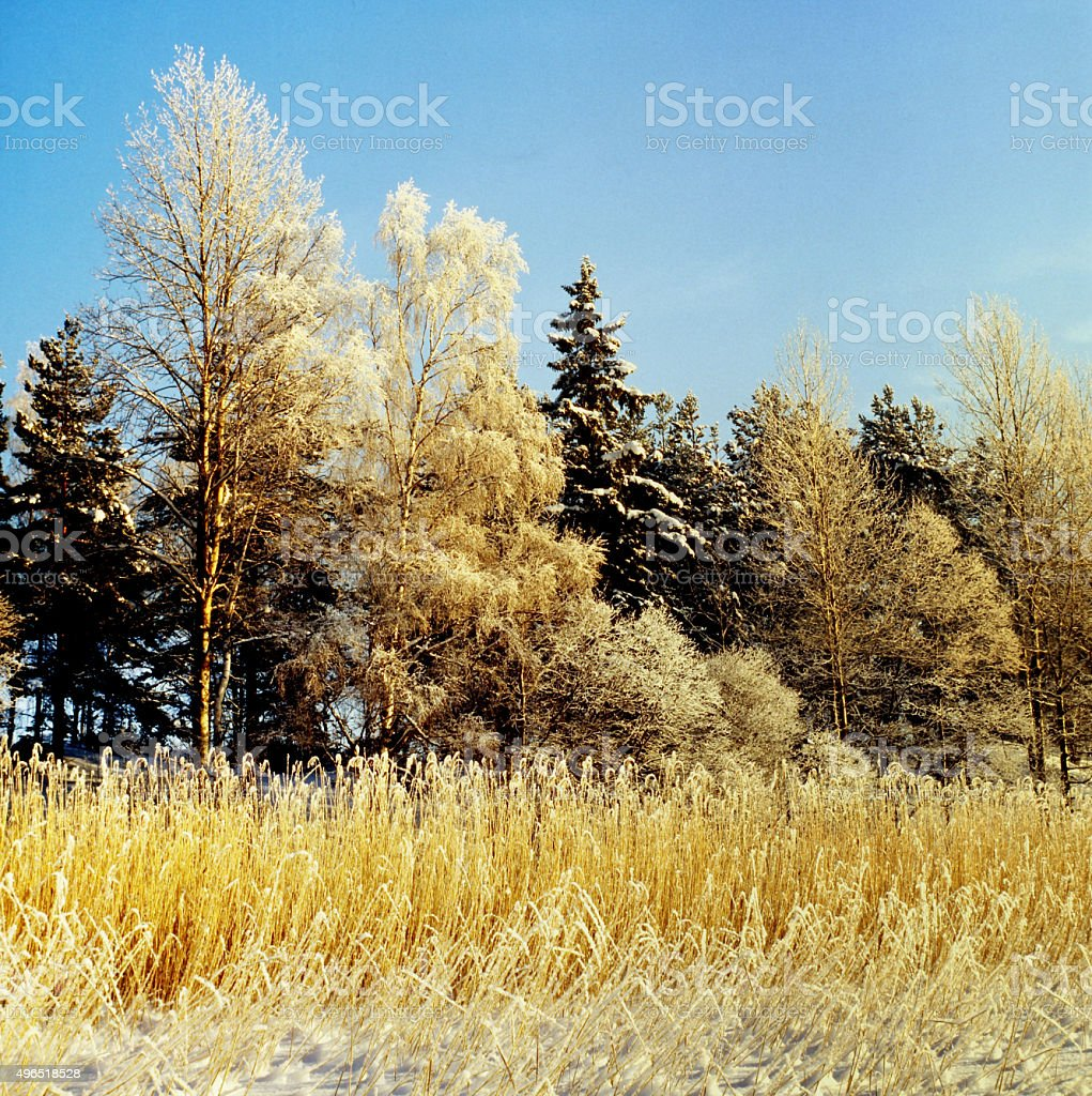 Frosty shore with reeds in a Freshwater Lake. stock photo