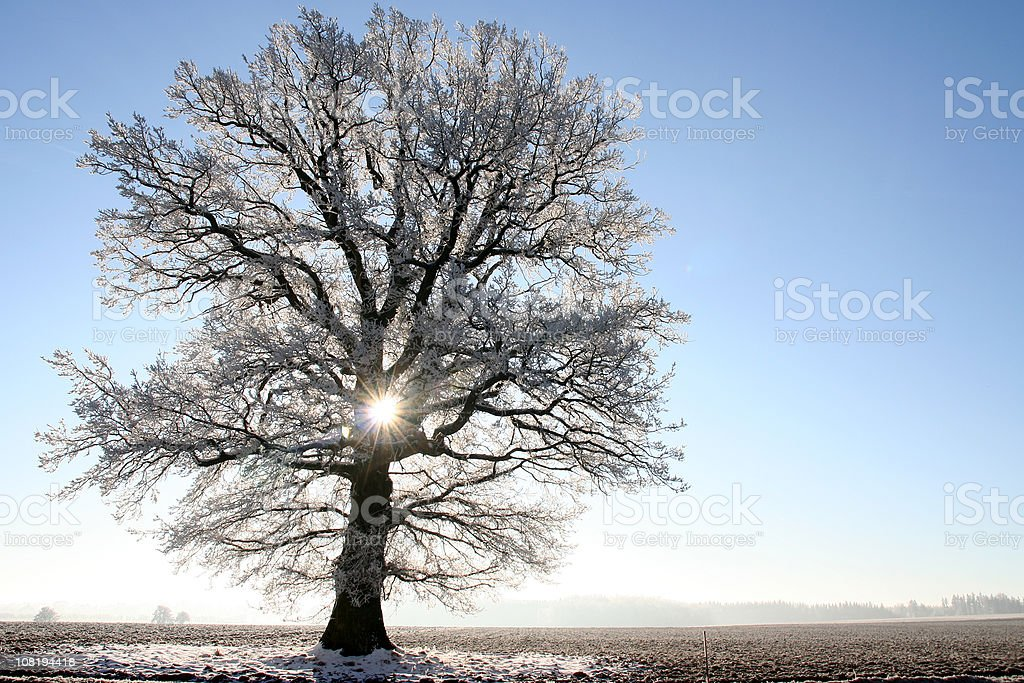 Frosty Tree in Back Light royalty-free stock photo