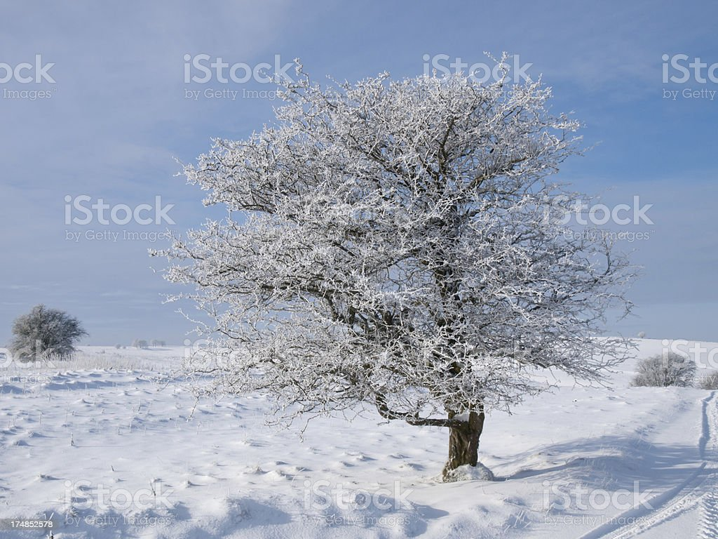 Frosty Tree royalty-free stock photo