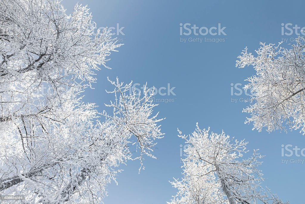 Frosty Treetops from Below stock photo
