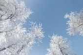 Frosty Treetops from Below