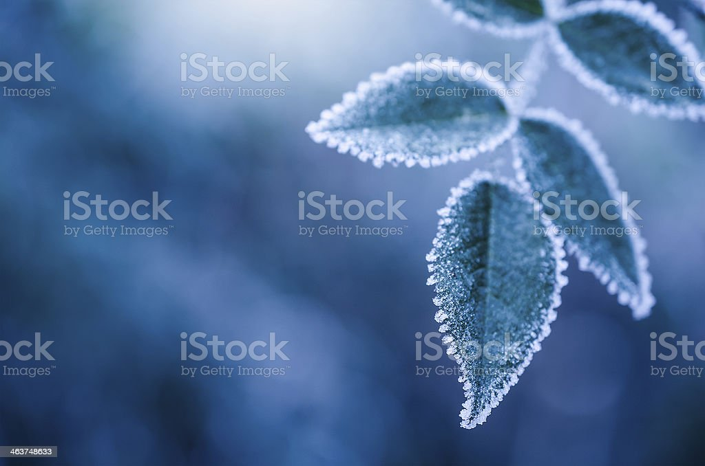 Frosty winter leaves abstract stock photo