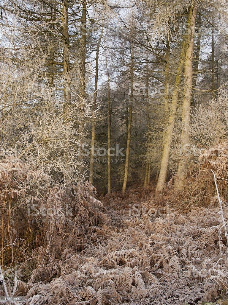 Frosy Woodland royalty-free stock photo