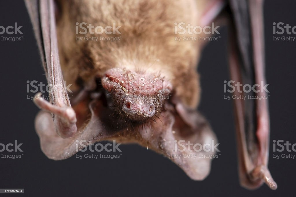 Frowning Bat Portrait royalty-free stock photo