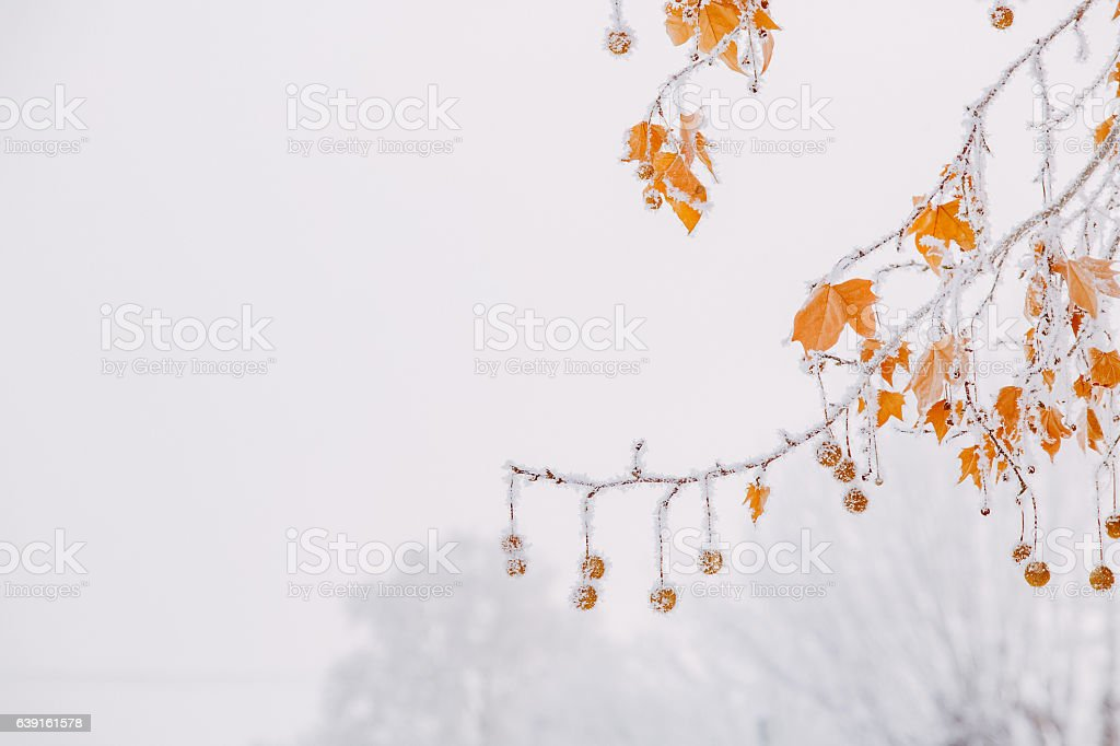 Frozen And Bare Sycamore Tree Branches And Achenes stock photo