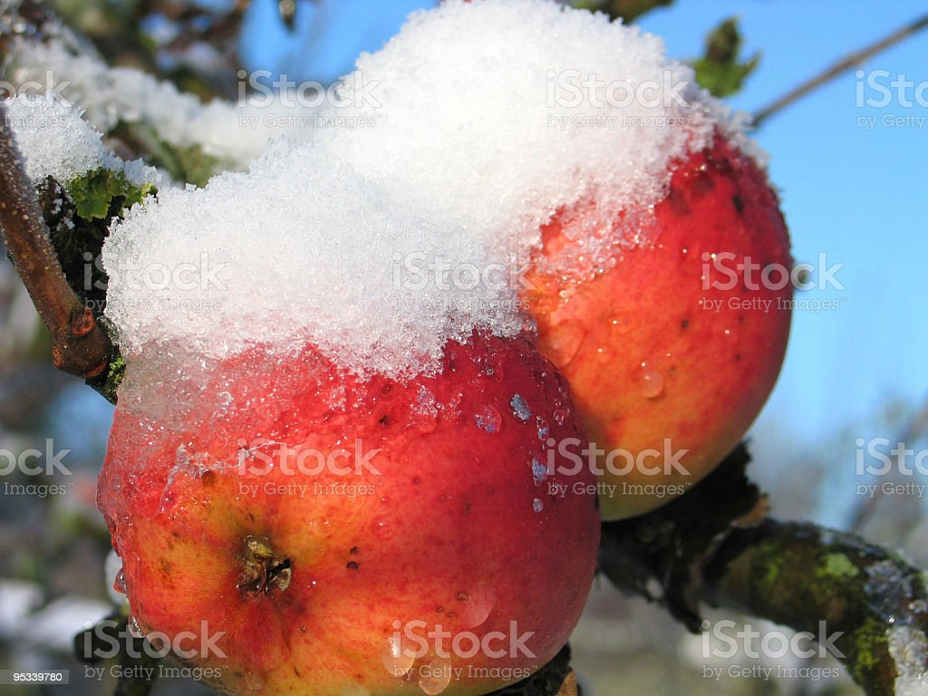 Frozen apples - Christmas royalty-free stock photo