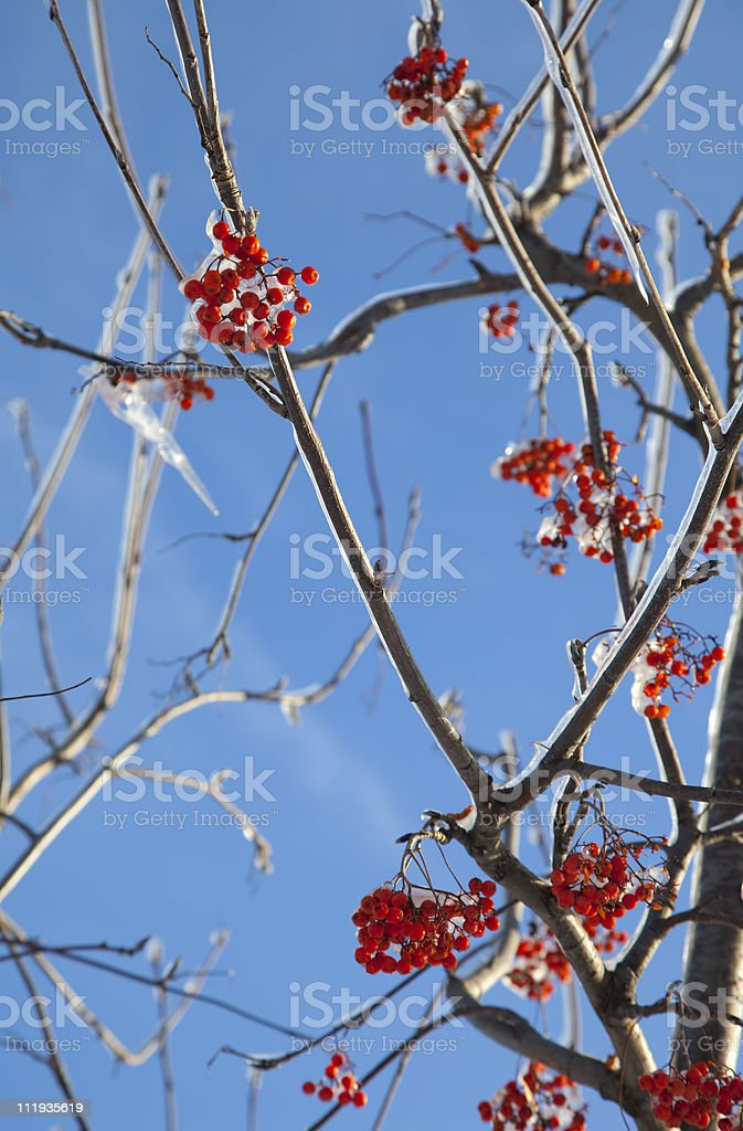 Frozen ashberry royalty-free stock photo