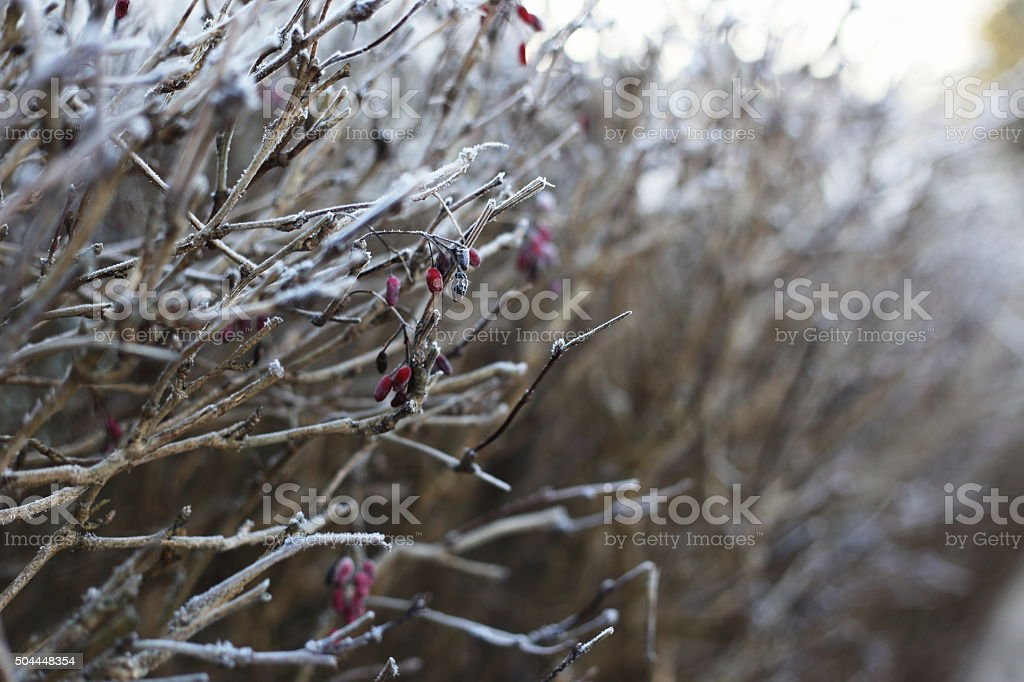 frozen barberry royalty-free stock photo