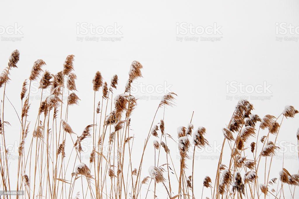 Frozen Beach Grass stock photo
