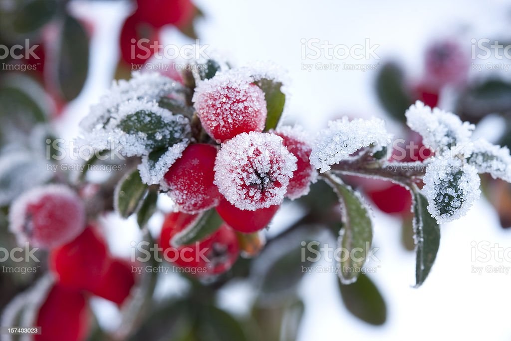 frozen berberis stock photo