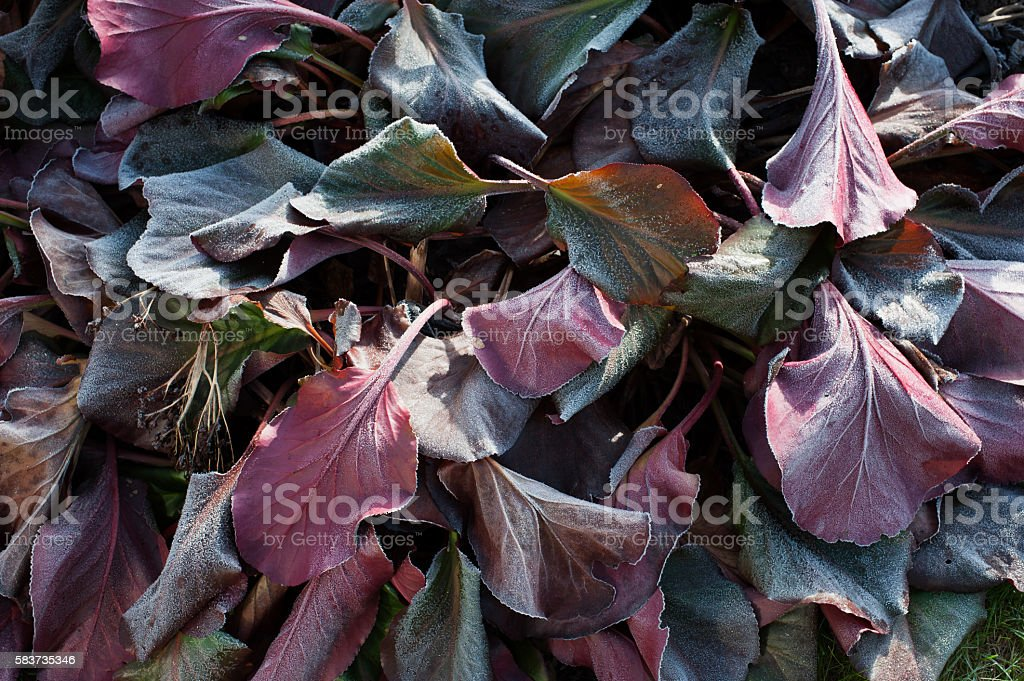 Frozen Bergenia leaves stock photo