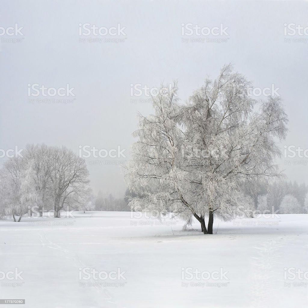 Frozen birch tree in the fog royalty-free stock photo