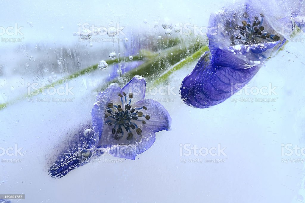 Frozen blue flower royalty-free stock photo