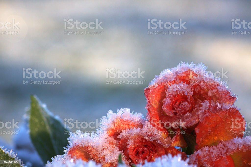 Frozen bouquet of roses stock photo