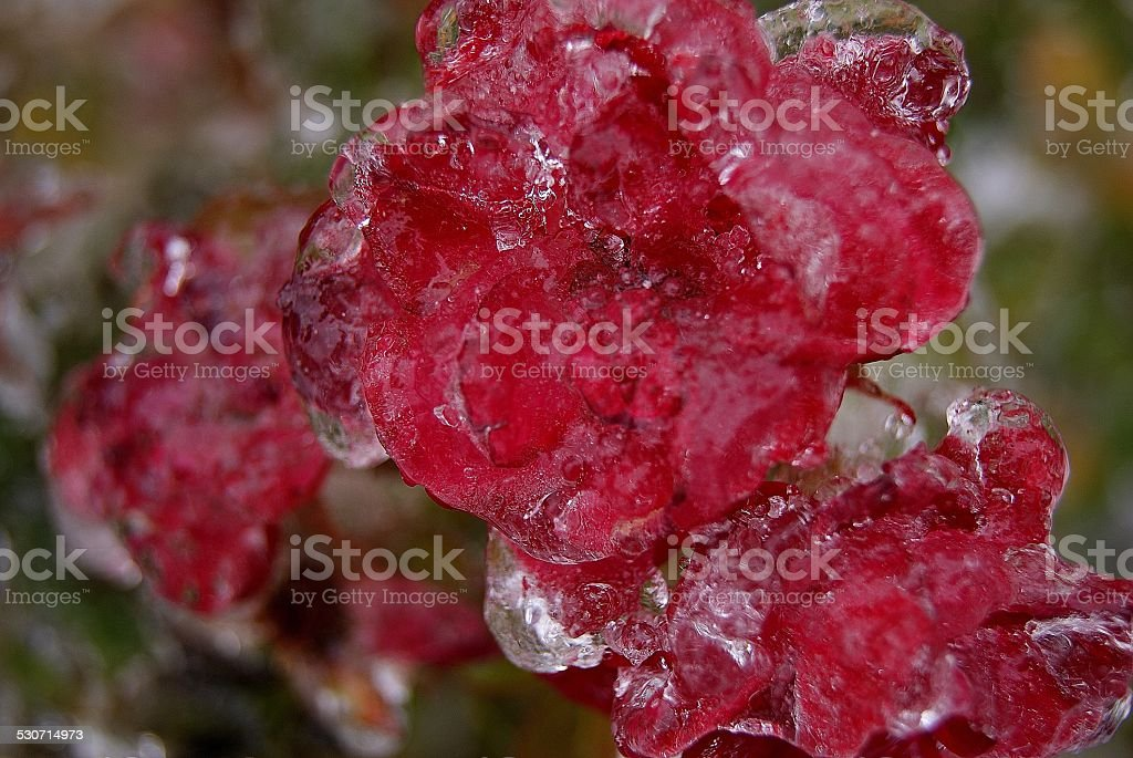 Frozen Bunch royalty-free stock photo