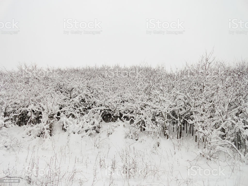 Frozen Bushes stock photo