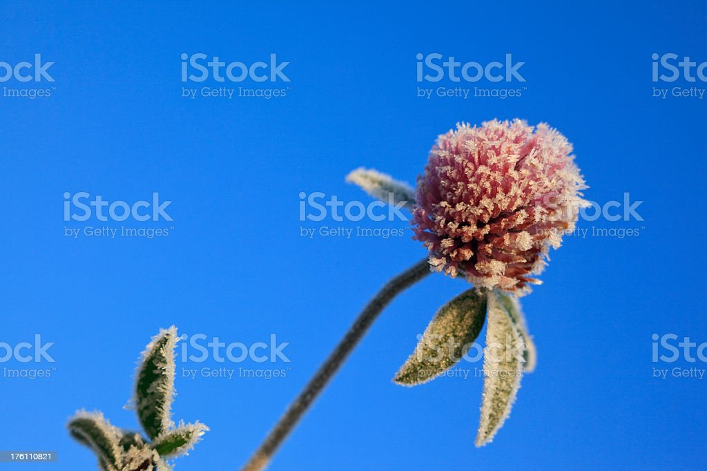 frozen clover flower royalty-free stock photo