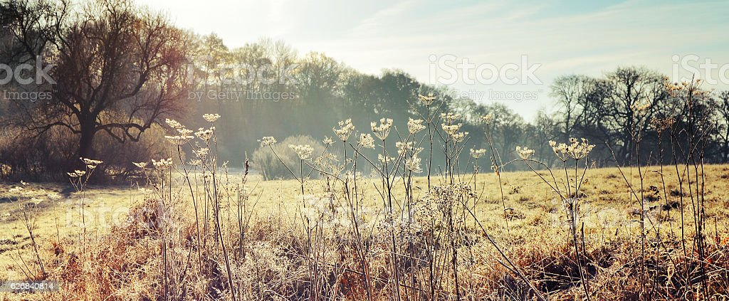 Frozen cow parsley stock photo