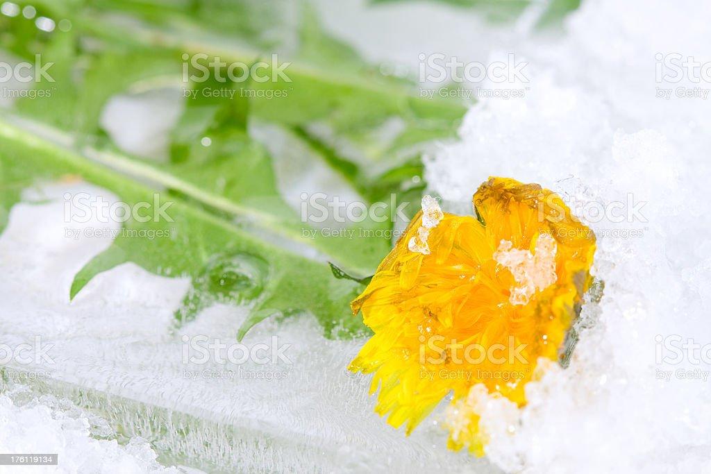 Frozen dandelion stock photo
