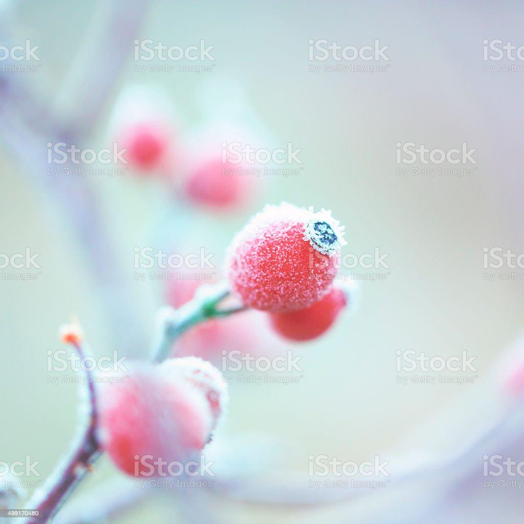 Frozen Dog rose [Rosa canina] stock photo