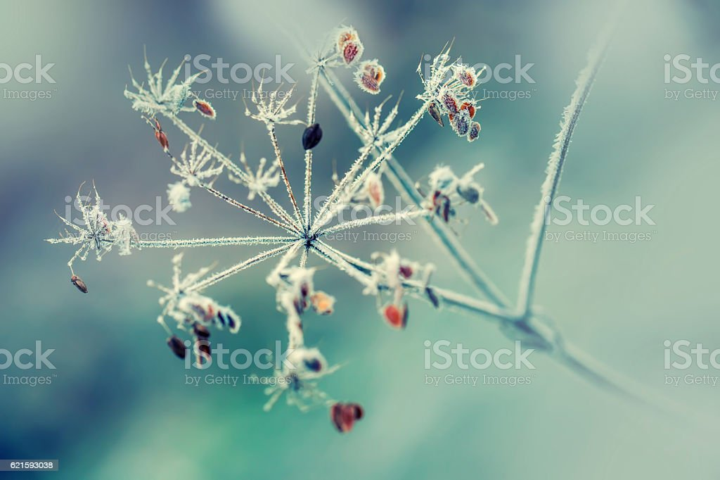 Frozen Dried out plant chervil forest in autumn lights. stock photo