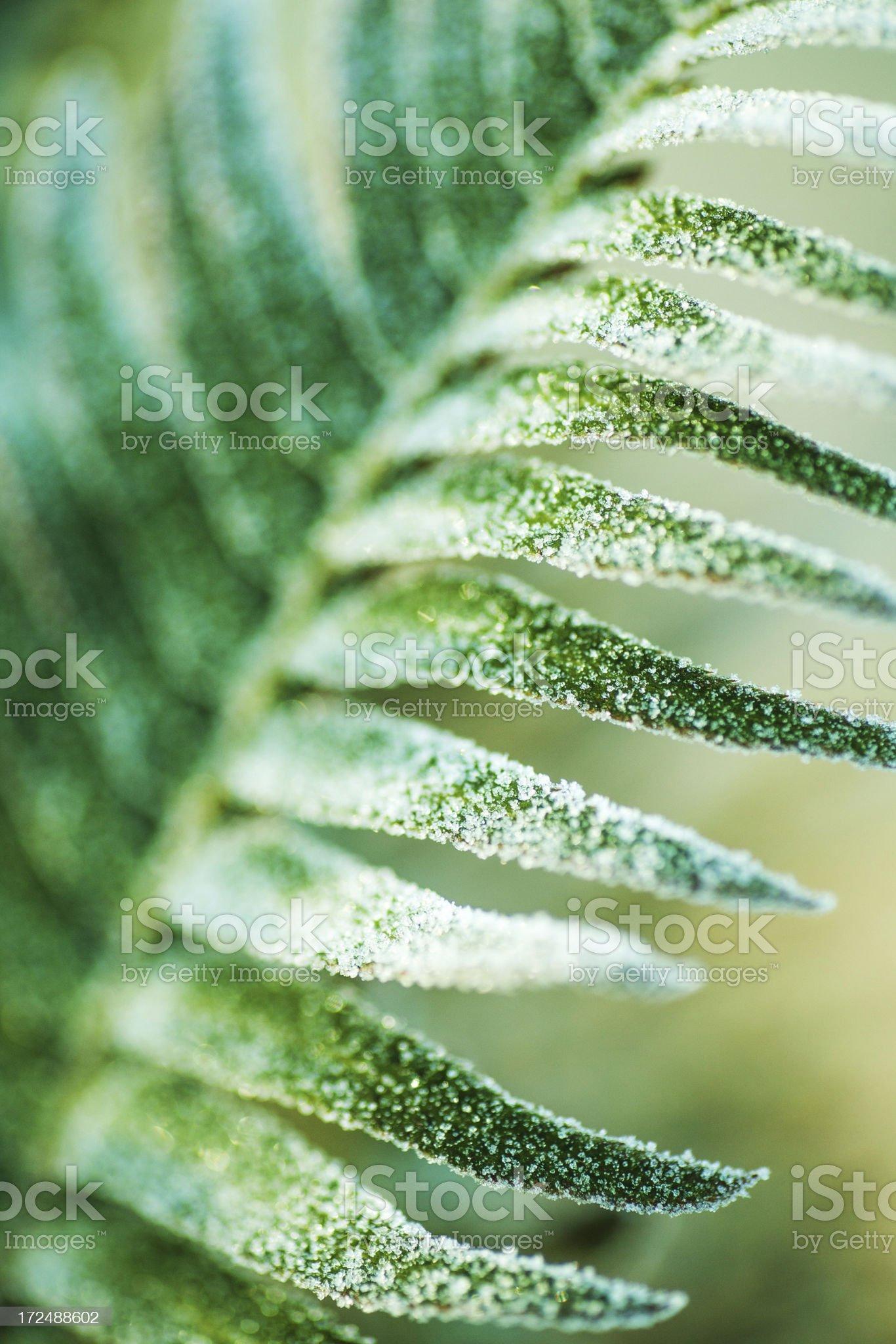 Frozen fern royalty-free stock photo
